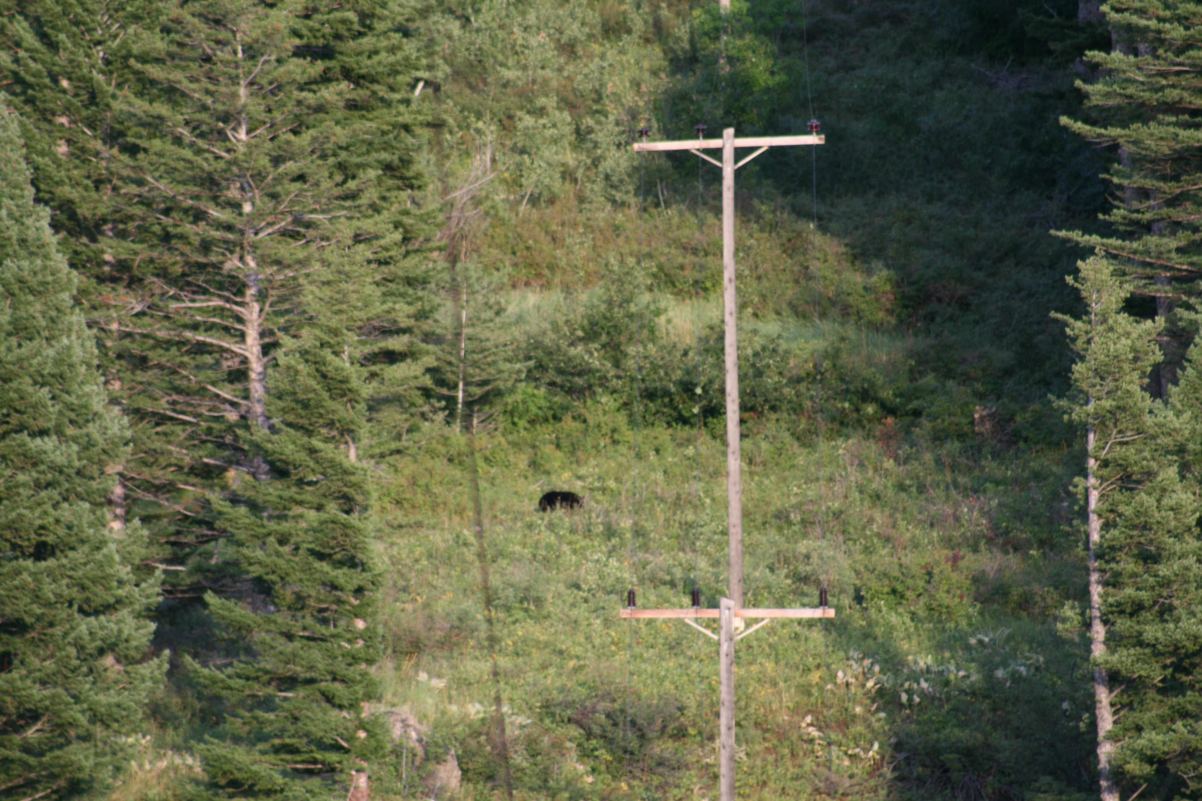 Black Bear in Red Lodge