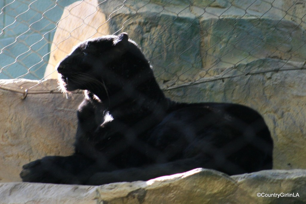 Shadow the Black Leopard